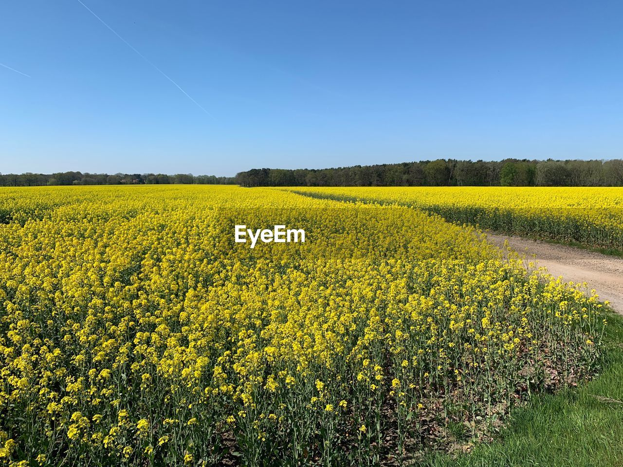 yellow, beauty in nature, field, landscape, sky, plant, scenics - nature, land, flower, tranquil scene, growth, agriculture, environment, rural scene, flowering plant, tranquility, oilseed rape, nature, clear sky, crop, no people, springtime