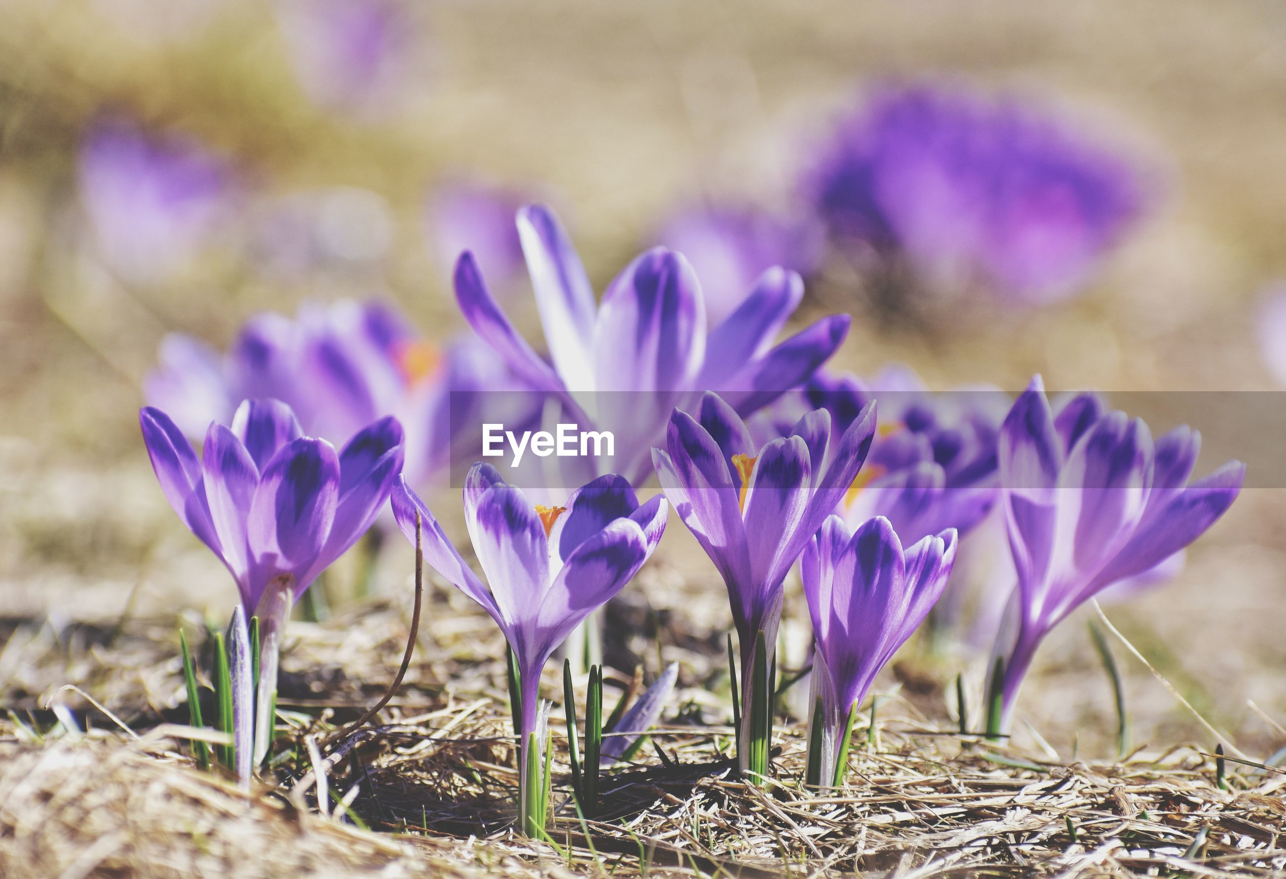 Crocus flowers in the fields in poland