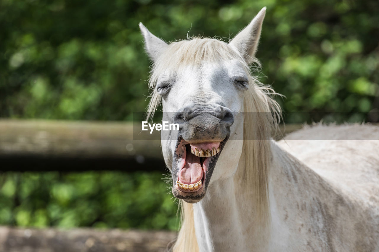 animal themes, animal, mammal, one animal, domestic animals, animal wildlife, vertebrate, pets, horse, domestic, livestock, animal body part, focus on foreground, mouth open, mouth, day, looking at camera, portrait, close-up, no people, herbivorous, animal head, outdoors, animal teeth, animal mouth