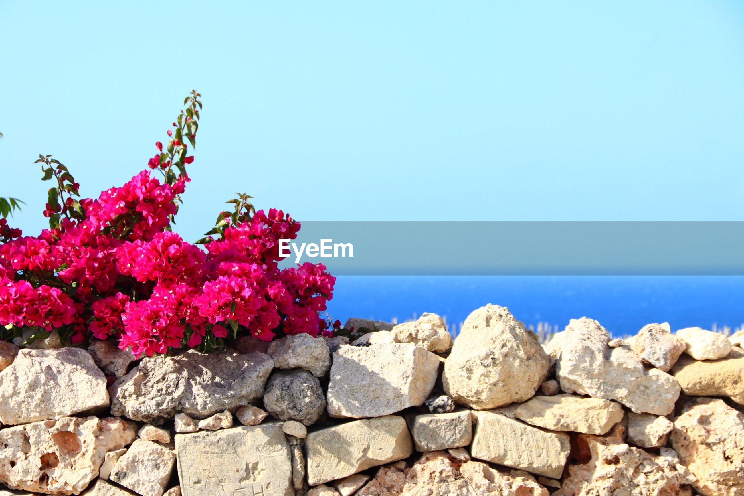 PINK FLOWERING PLANT BY SEA AGAINST CLEAR SKY