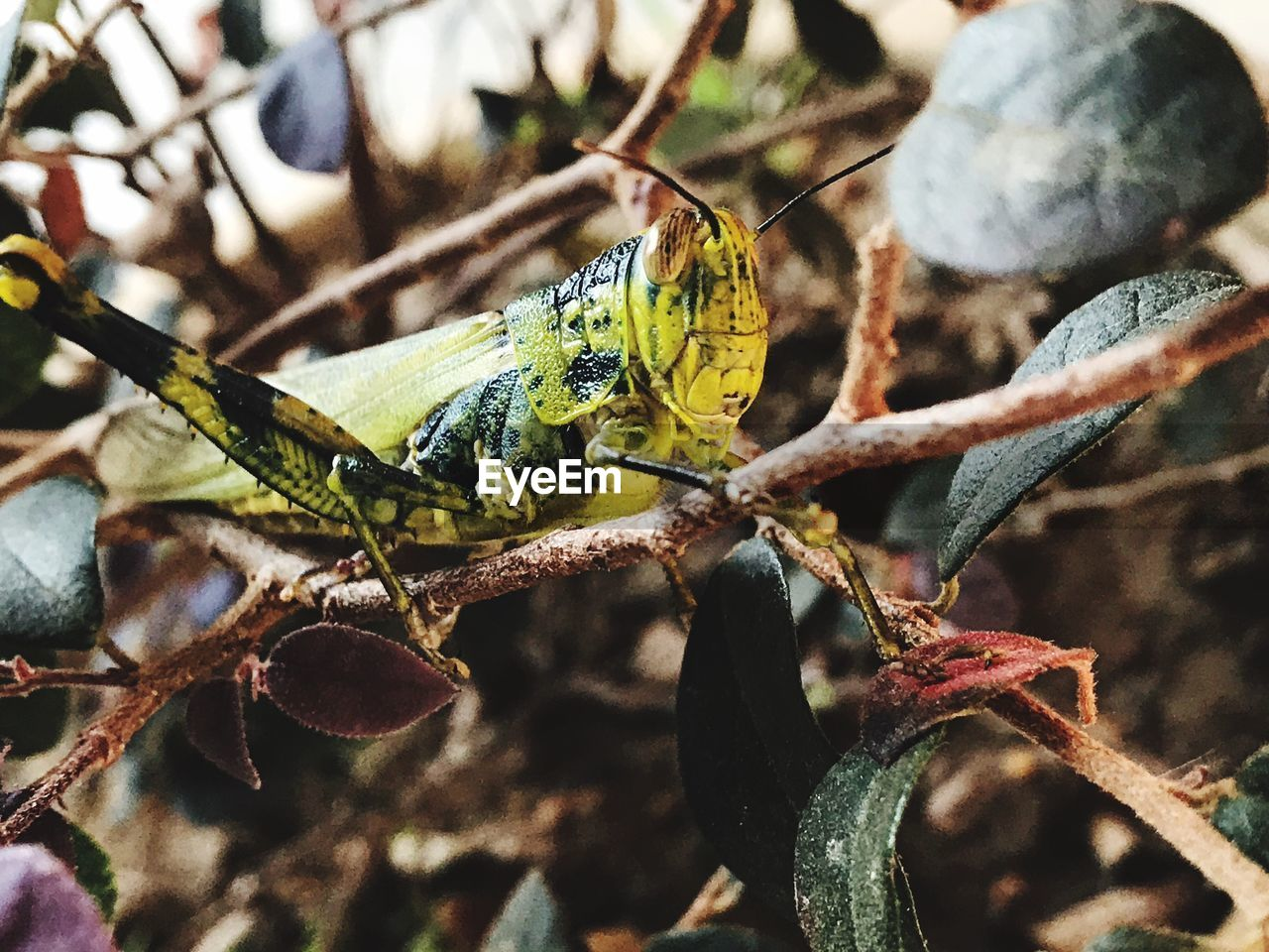 animals in the wild, insect, animal themes, one animal, animal wildlife, close-up, focus on foreground, day, no people, outdoors, nature, plant, leaf, grasshopper