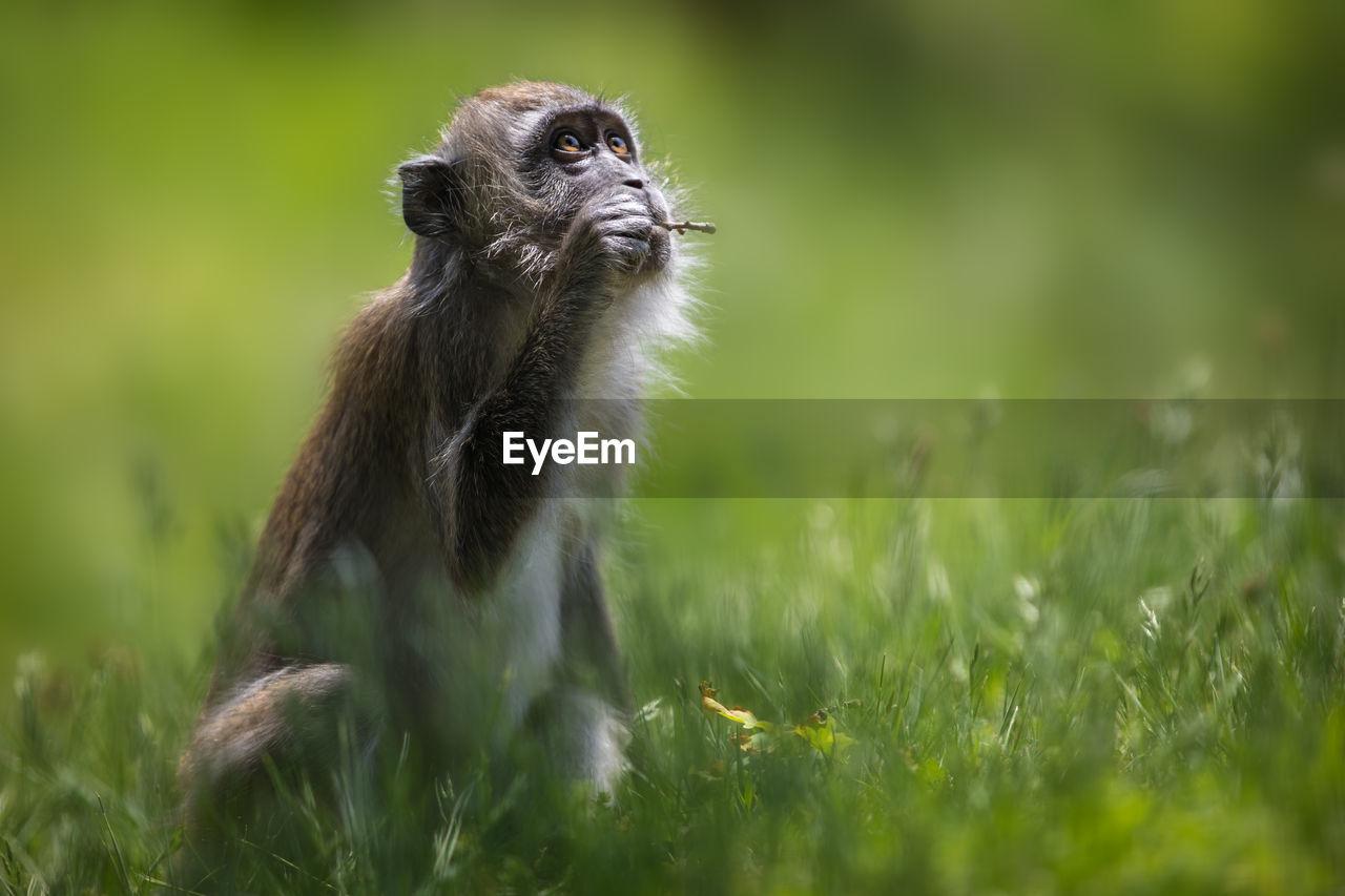 Monkey Sitting On Grassy Field