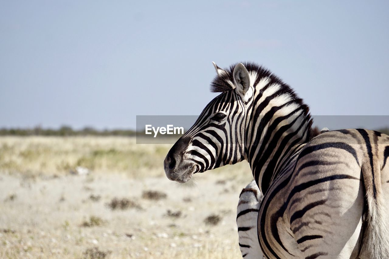 animal wildlife, animal, animal themes, one animal, animals in the wild, mammal, striped, zebra, nature, vertebrate, focus on foreground, field, day, safari, sky, land, no people, animal markings, side view, outdoors, herbivorous, animal head, profile view