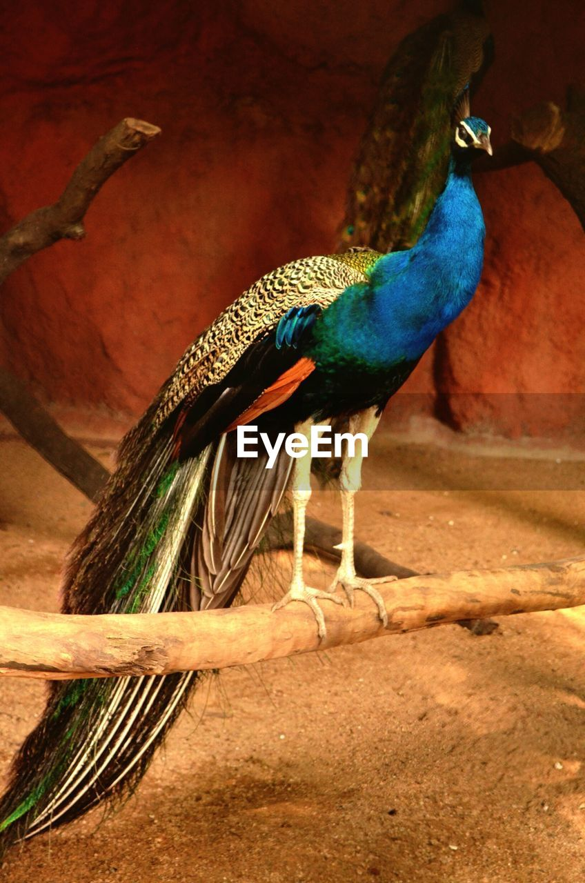 bird, animal themes, one animal, peacock, animals in the wild, feather, full length, animal wildlife, no people, nature, day, outdoors, beauty in nature, spread wings, fanned out, close-up, peacock feather
