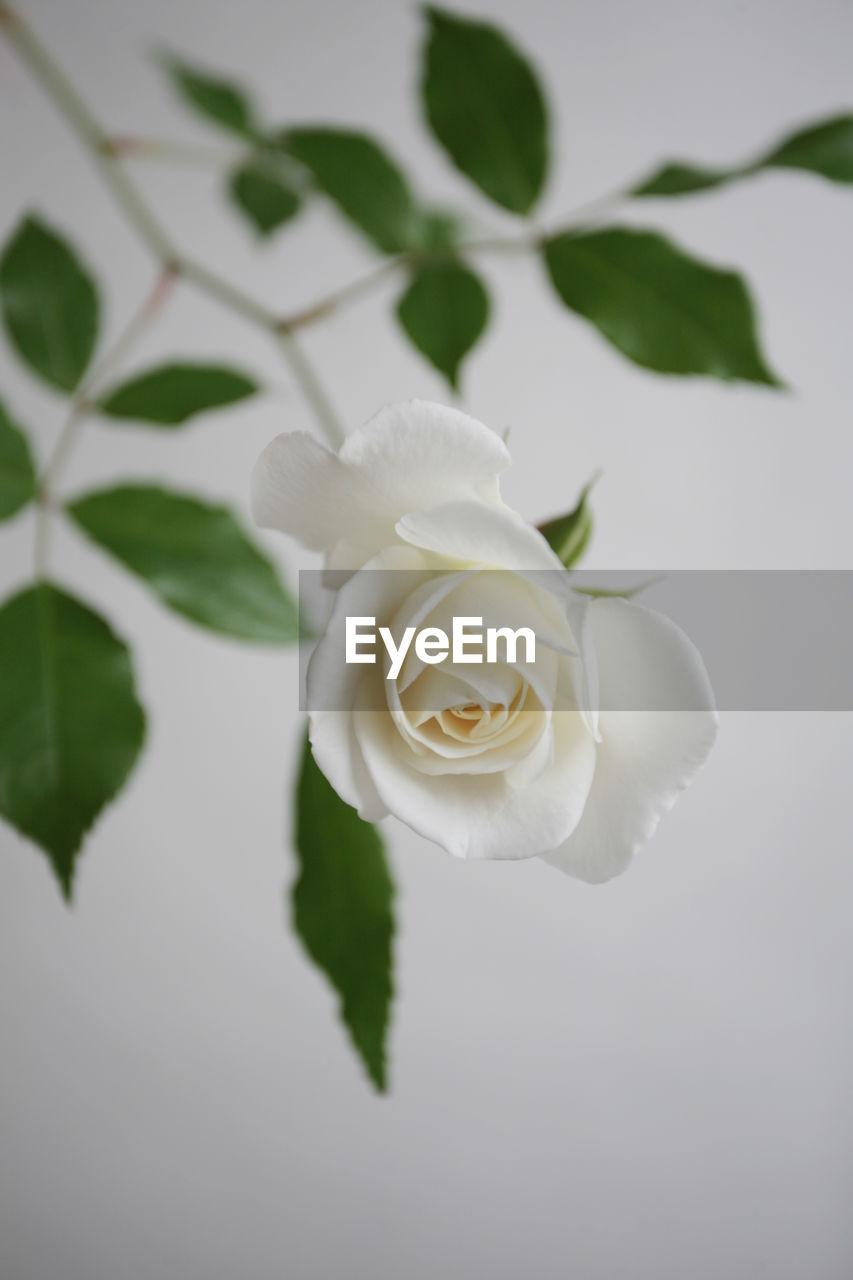 flowering plant, flower, plant, beauty in nature, freshness, petal, flower head, fragility, rose, vulnerability, rose - flower, inflorescence, close-up, leaf, plant part, nature, white color, growth, no people