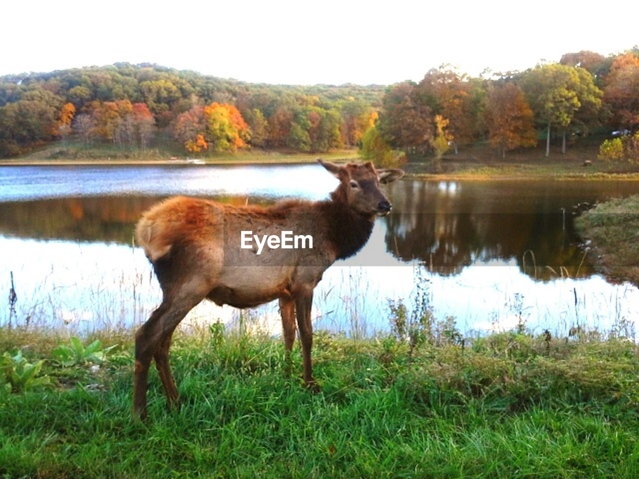 water, animal themes, one animal, grass, lake, reflection, nature, tree, domestic animals, mammal, day, outdoors, no people, standing, animals in the wild, livestock, full length, beauty in nature, moose, sky