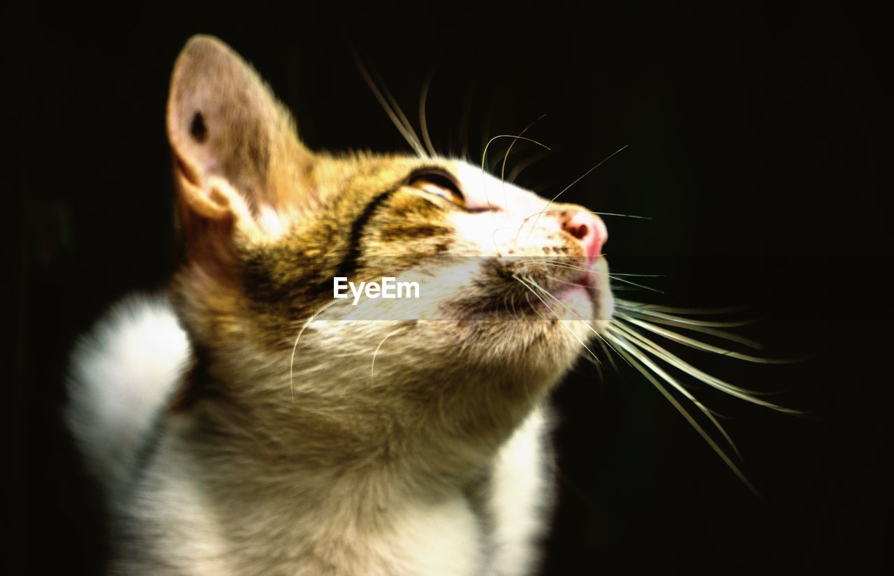 one animal, animal themes, domestic cat, pets, domestic animals, feline, mammal, whisker, no people, close-up, indoors, day, black background