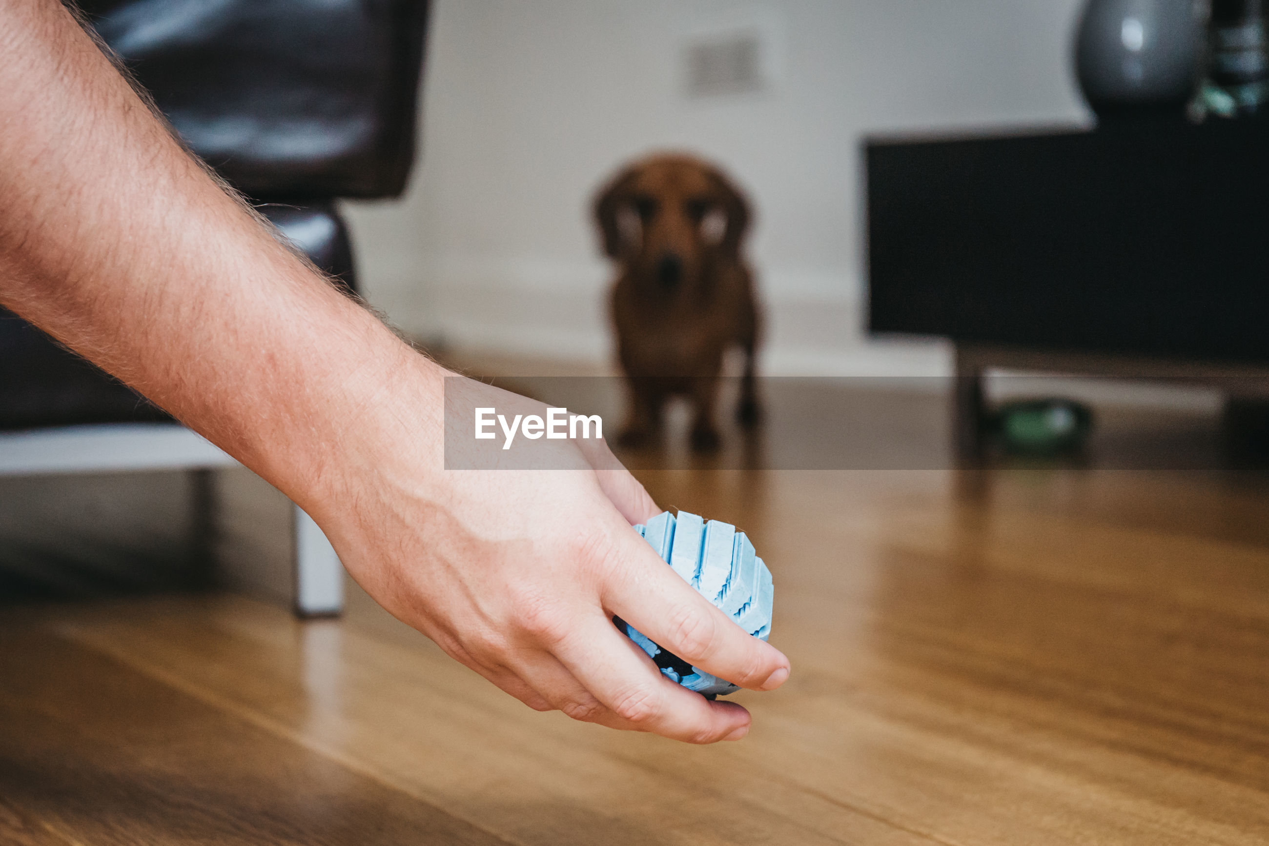 Cropped hand of man showing toy to dog standing on hardwood floor