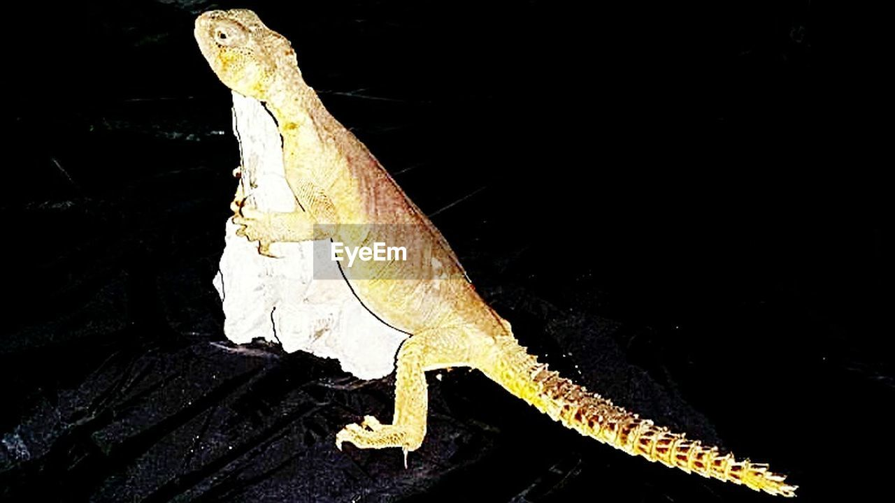 one animal, reptile, animal themes, animals in the wild, animal wildlife, lizard, no people, bearded dragon, night, outdoors, close-up, nature, black background