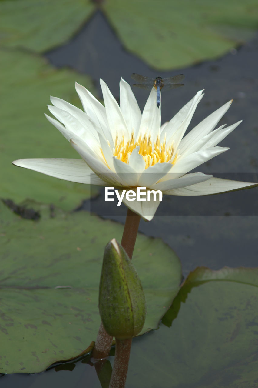 flower, nature, petal, beauty in nature, white color, fragility, growth, freshness, flower head, water lily, water, no people, plant, lotus water lily, day, outdoors, close-up