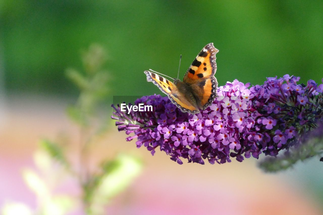 flower, insect, nature, one animal, fragility, animals in the wild, purple, beauty in nature, butterfly - insect, animal themes, no people, close-up, plant, freshness, growth, focus on foreground, outdoors, pollination, day, petal, flower head