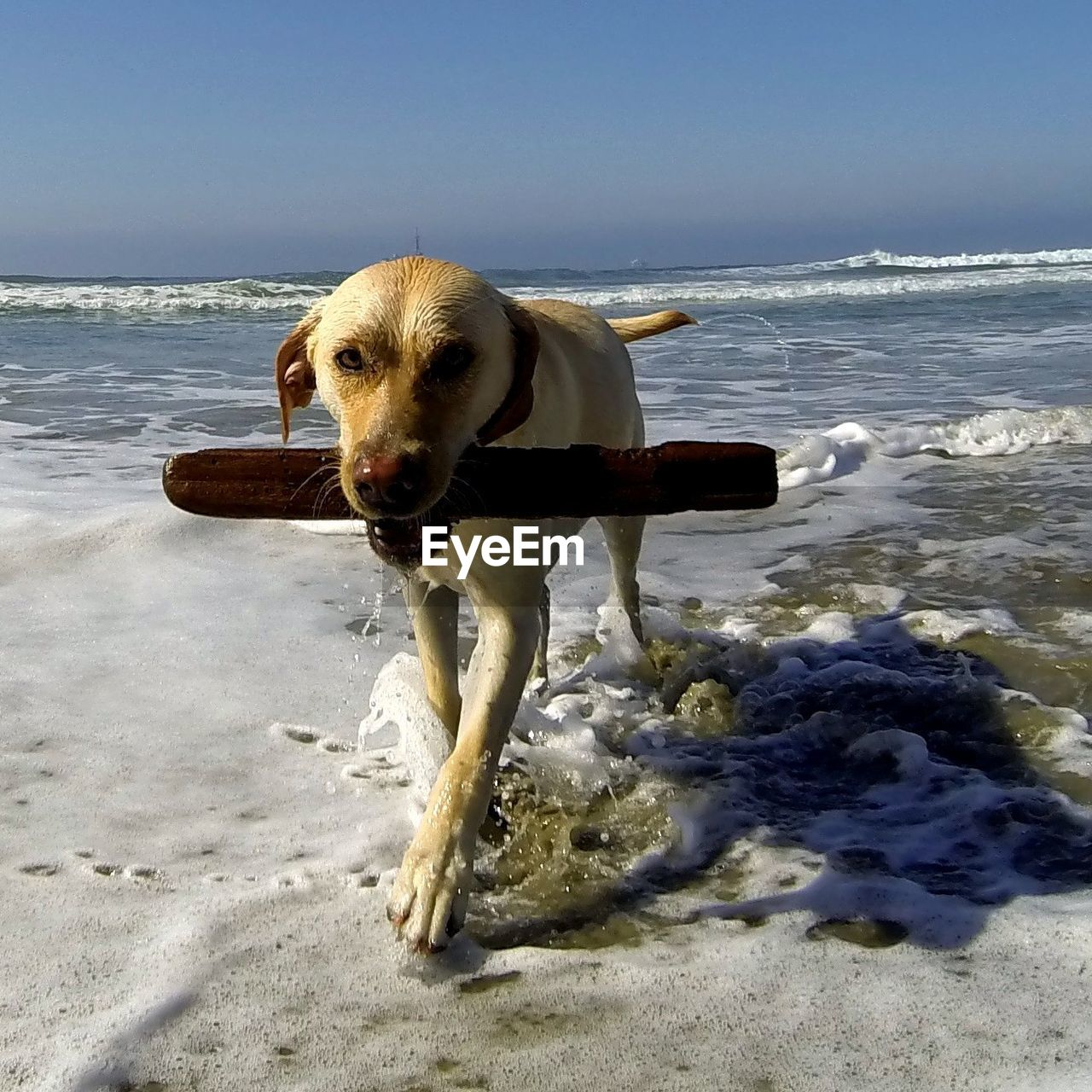 beach, sea, dog, shore, sand, one animal, water, pets, domestic animals, animal themes, mammal, nature, horizon over water, day, outdoors, sunlight, wave, sky, no people, beauty in nature, full length