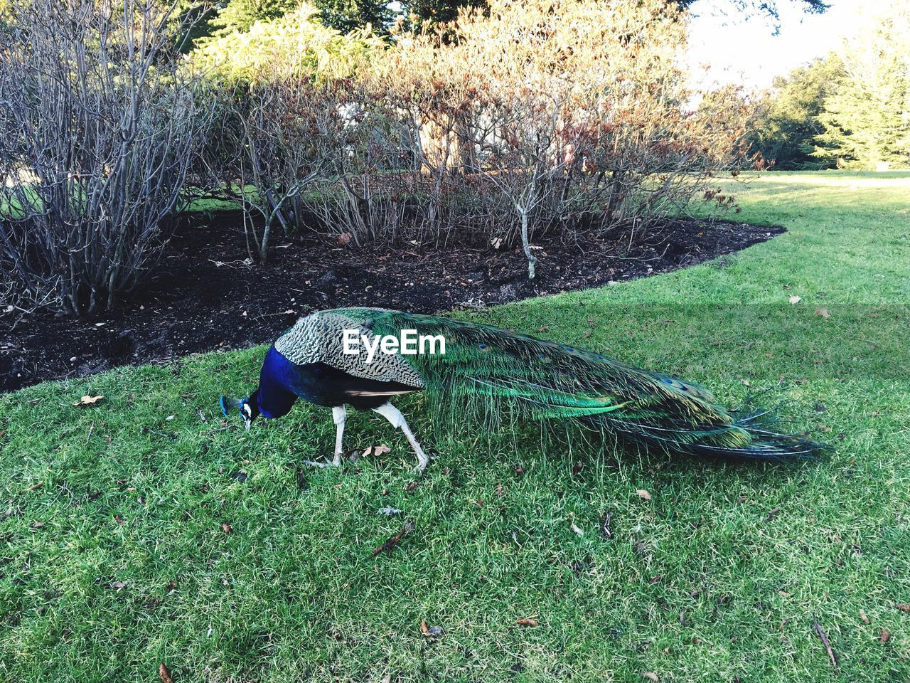 one animal, animal themes, green color, grass, bird, field, animals in the wild, day, nature, outdoors, growth, peacock, full length, no people, beauty in nature
