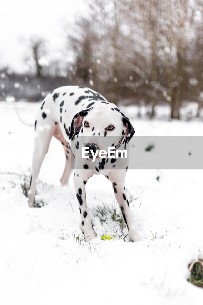 canine, dog, animal themes, one animal, dalmatian dog, animal, snow, mammal, pets, domestic animals, domestic, white color, vertebrate, winter, cold temperature, spotted, nature, field, land, no people, purebred dog