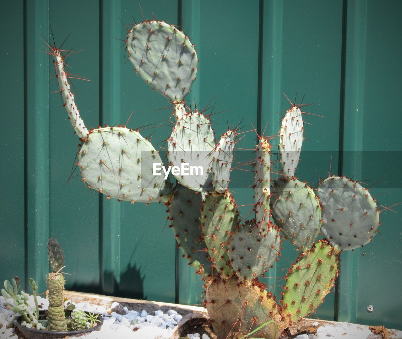 cactus, prickly pear cactus, growth, nature, thorn, plant, no people, spiked, green color, day, close-up, outdoors, beauty in nature, flower, saguaro cactus, animal themes, freshness
