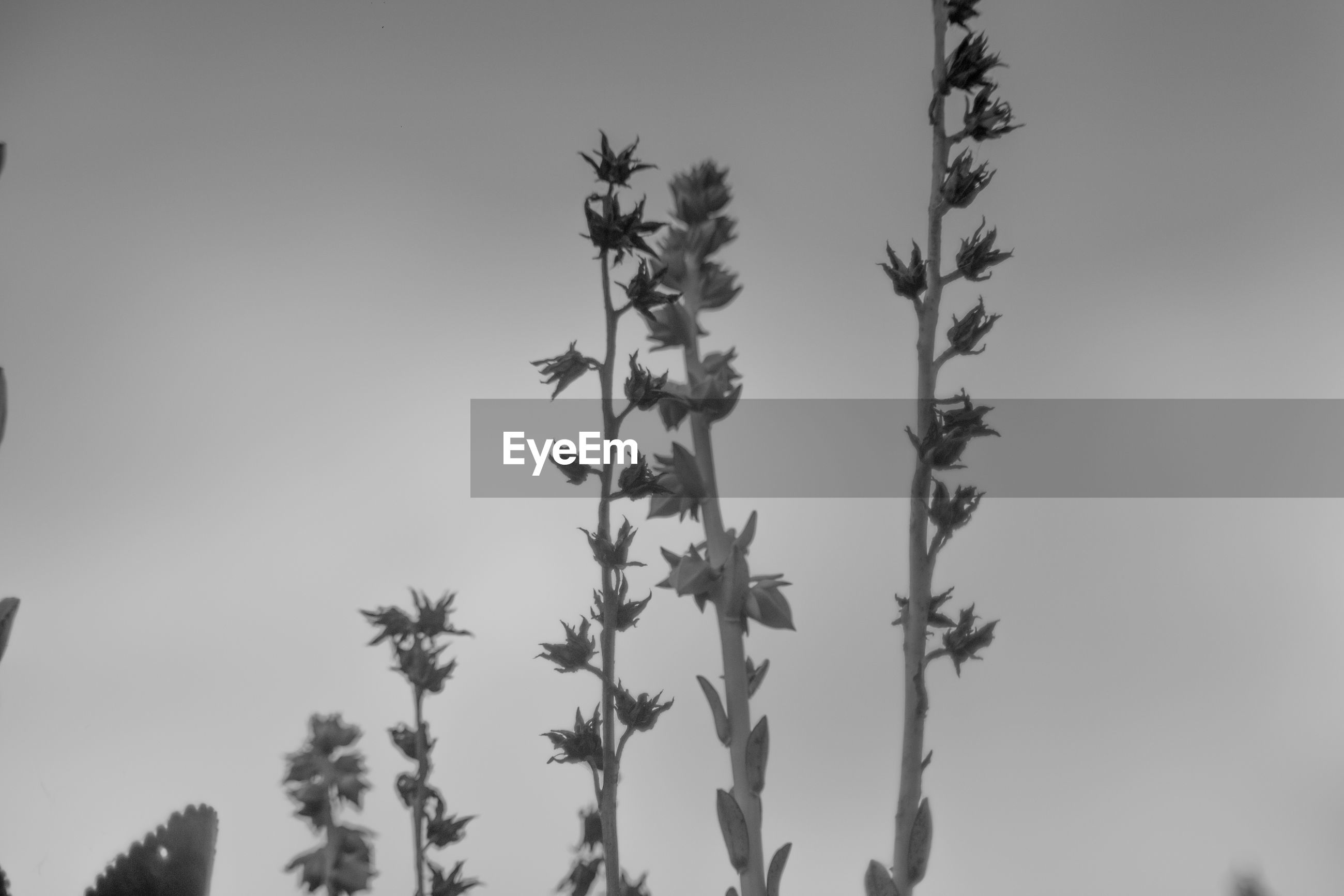 CLOSE-UP OF PLANT AGAINST CLEAR SKY