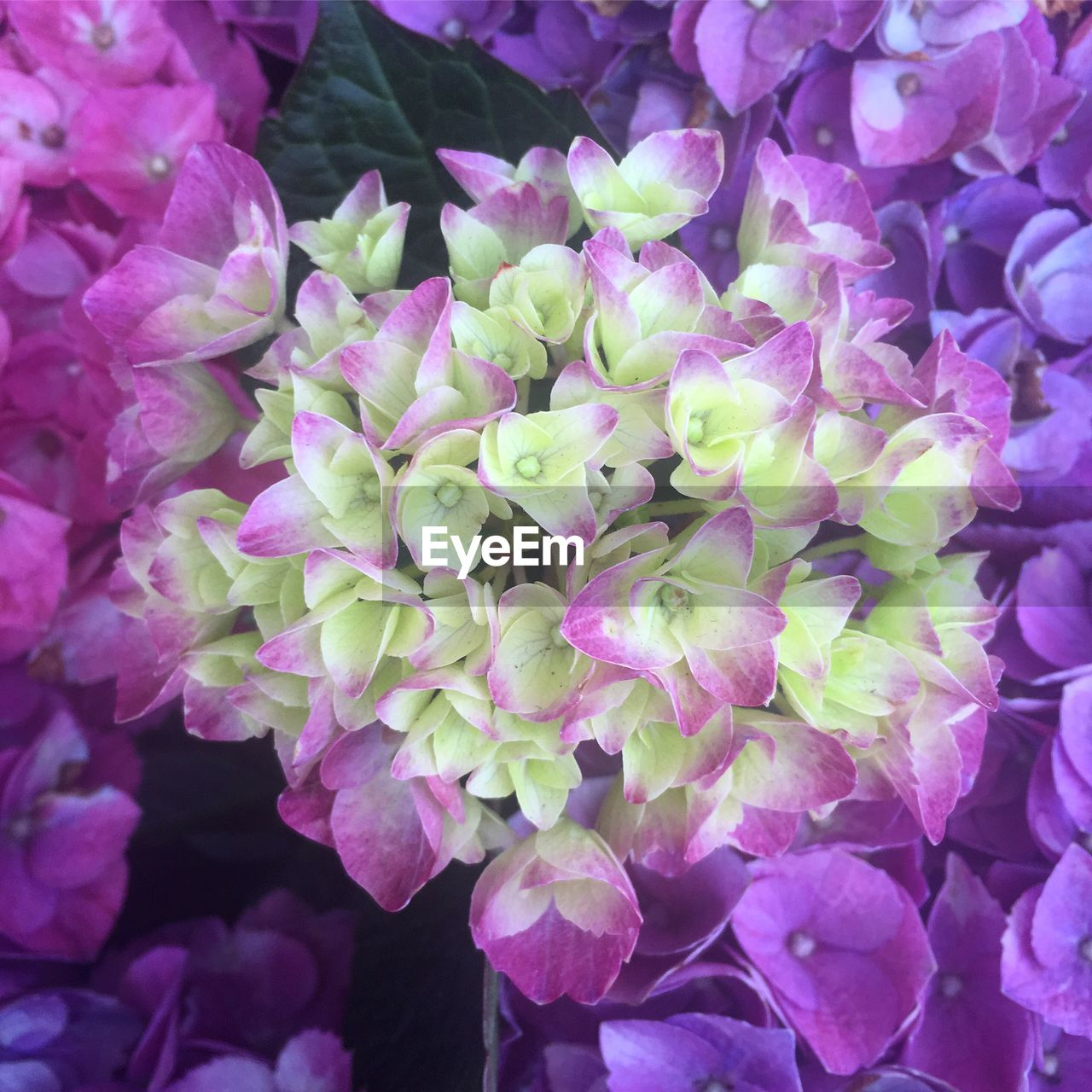plant, flower, fragility, beauty in nature, vulnerability, freshness, flowering plant, growth, close-up, petal, inflorescence, no people, nature, flower head, day, pink color, purple, full frame, botany, hydrangea, outdoors, bunch of flowers, springtime, lilac, flower arrangement