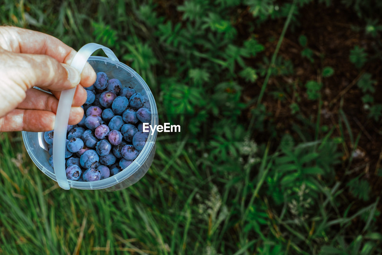 Hand holding plastic bucket with blueberries while harvesting