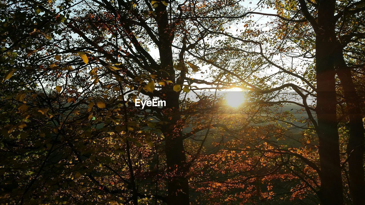 tree, sun, sunbeam, nature, sunlight, lens flare, tranquil scene, beauty in nature, branch, tranquility, forest, autumn, low angle view, growth, no people, outdoors, scenics, day, change, leaf, sky