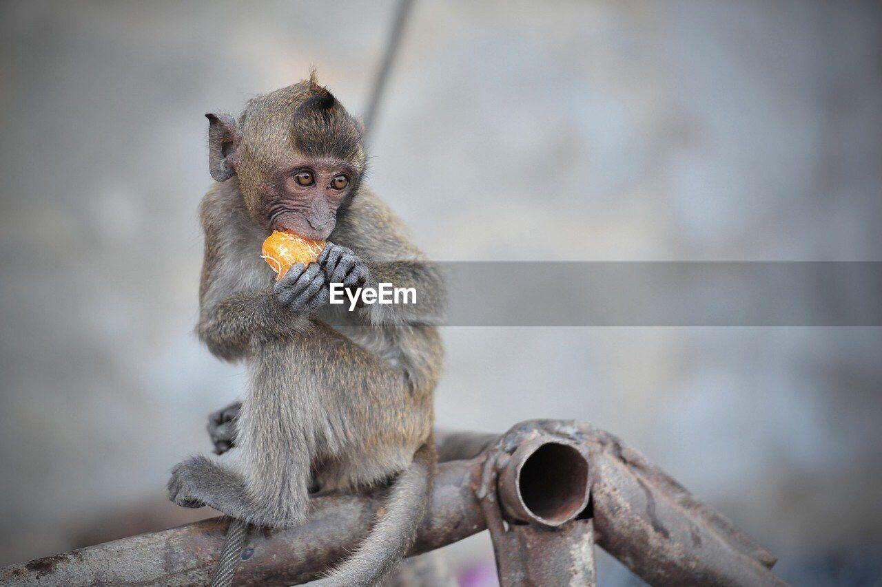 Monkey Eating Orange Fruit