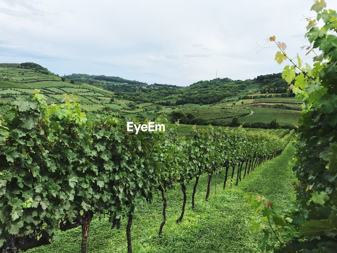 plant, growth, green color, vineyard, agriculture, field, landscape, beauty in nature, nature, land, tranquil scene, rural scene, scenics - nature, tranquility, sky, environment, winemaking, crop, no people, vine, farm, outdoors, plantation