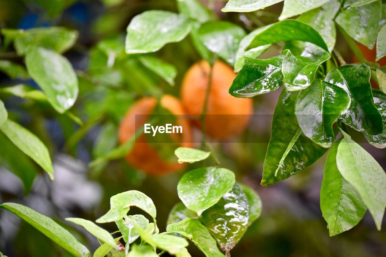 leaf, plant part, growth, plant, close-up, green color, beauty in nature, freshness, no people, orange color, nature, focus on foreground, day, selective focus, food and drink, food, outdoors, fruit, healthy eating, vulnerability, leaves, orange