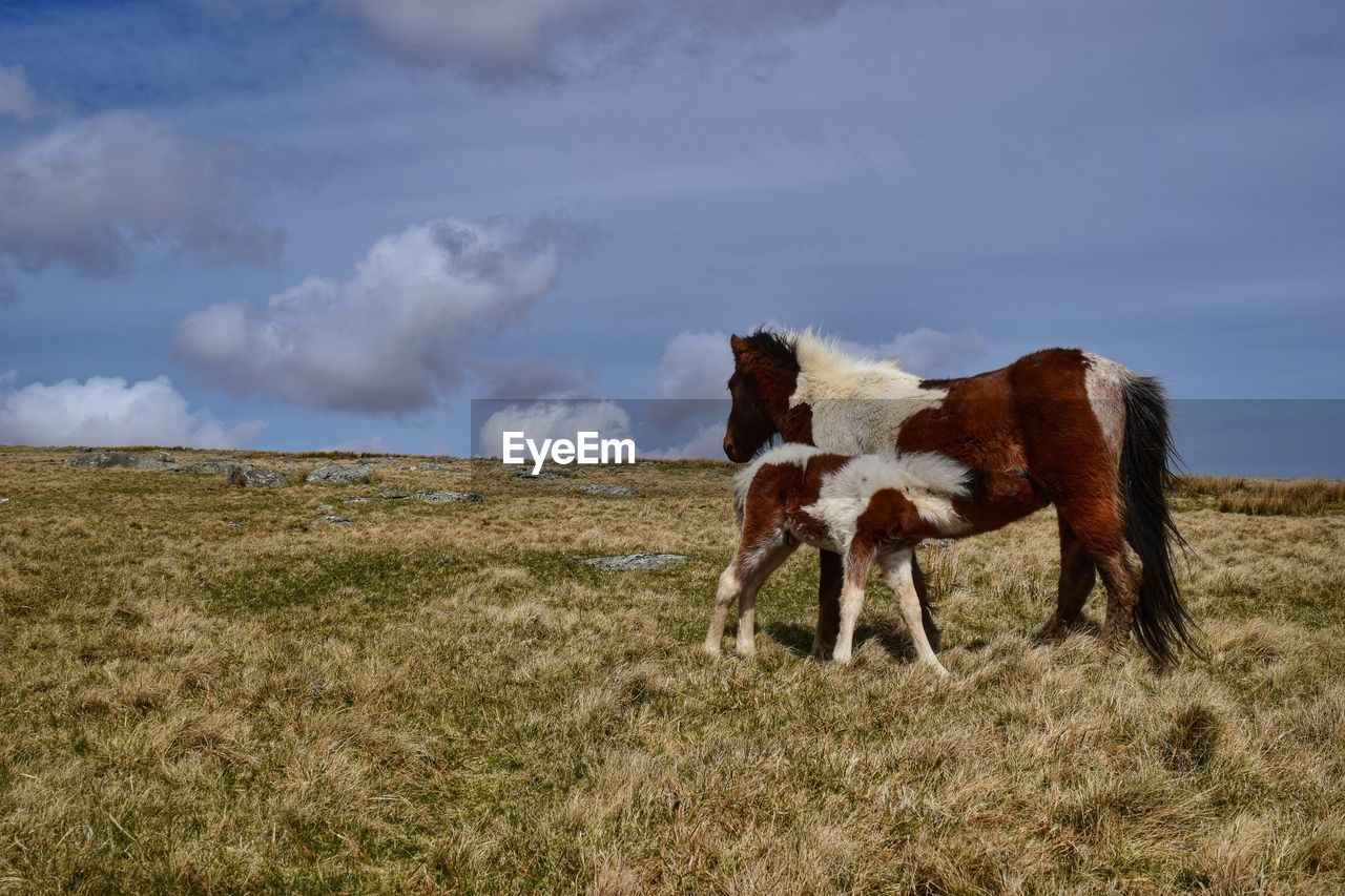 Side View Of Horses Standing On Grass Against Clear Sky