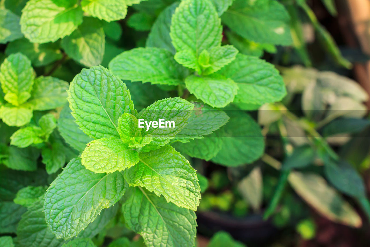 green color, leaf, plant part, growth, plant, close-up, nature, no people, beauty in nature, day, focus on foreground, freshness, herb, food and drink, mint leaf - culinary, food, high angle view, selective focus, outdoors, fragility, leaves