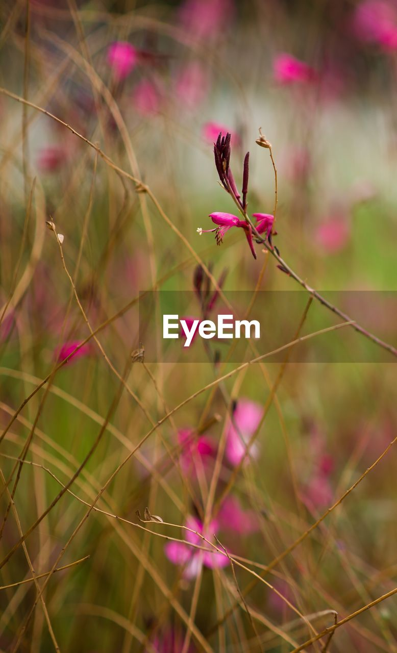 plant, flowering plant, flower, beauty in nature, fragility, growth, vulnerability, pink color, close-up, freshness, nature, selective focus, day, petal, focus on foreground, no people, outdoors, botany, plant stem, field, flower head, springtime, purple