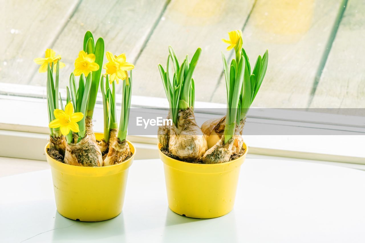 freshness, plant, yellow, flower, close-up, flowering plant, potted plant, focus on foreground, nature, table, indoors, no people, growth, beauty in nature, green color, still life, container, food, glass - material, transparent, flower head, flower pot, garnish