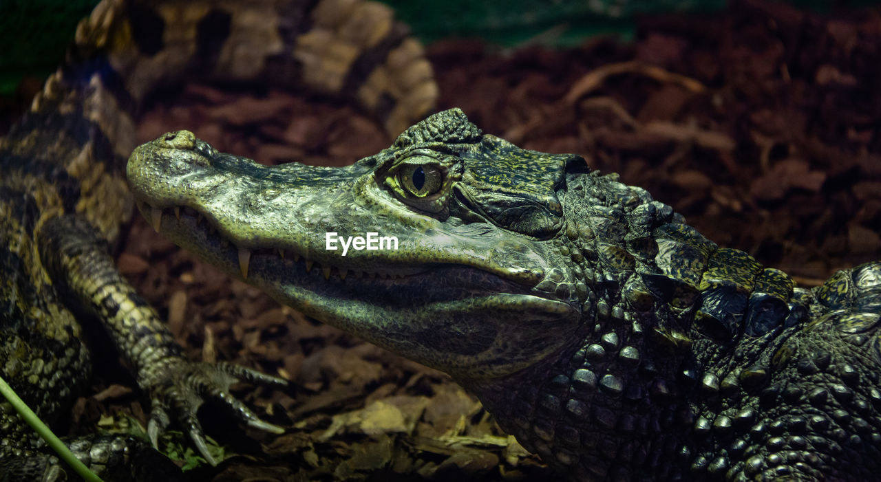 reptile, one animal, animal themes, animal, animals in the wild, animal wildlife, vertebrate, animal body part, close-up, nature, no people, animal head, crocodile, warning sign, focus on foreground, sign, looking away, day, selective focus, snake, animal scale, animal eye, poisonous