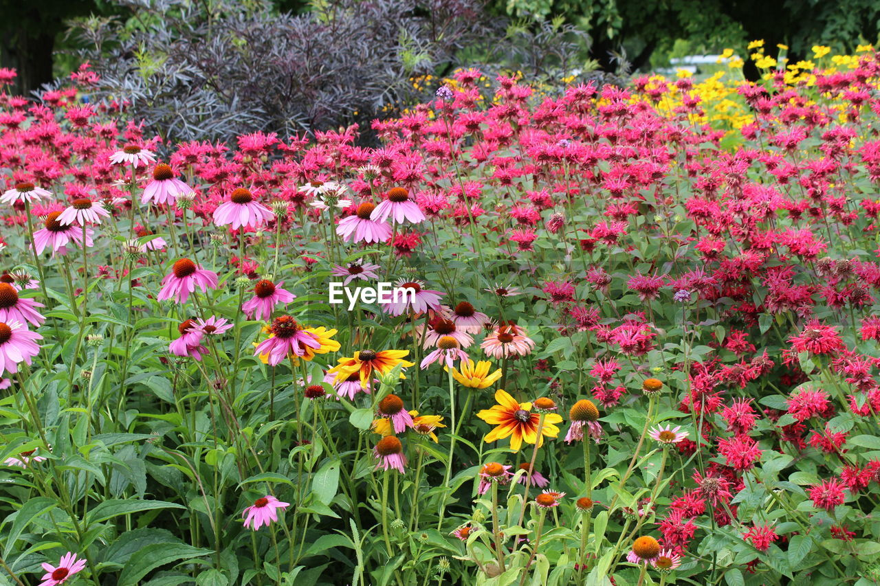 flower, growth, nature, plant, vegetation, beauty in nature, field, spring, blooming, pink color, no people, freshness, summer, fragility, outdoors, multi colored, flower head, day