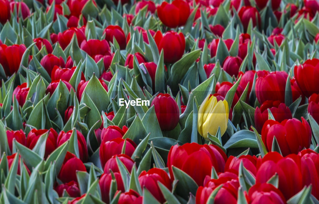 flower, flowering plant, tulip, freshness, beauty in nature, plant, vulnerability, red, fragility, petal, growth, close-up, flower head, inflorescence, no people, nature, day, yellow, land, field, outdoors, flowerbed