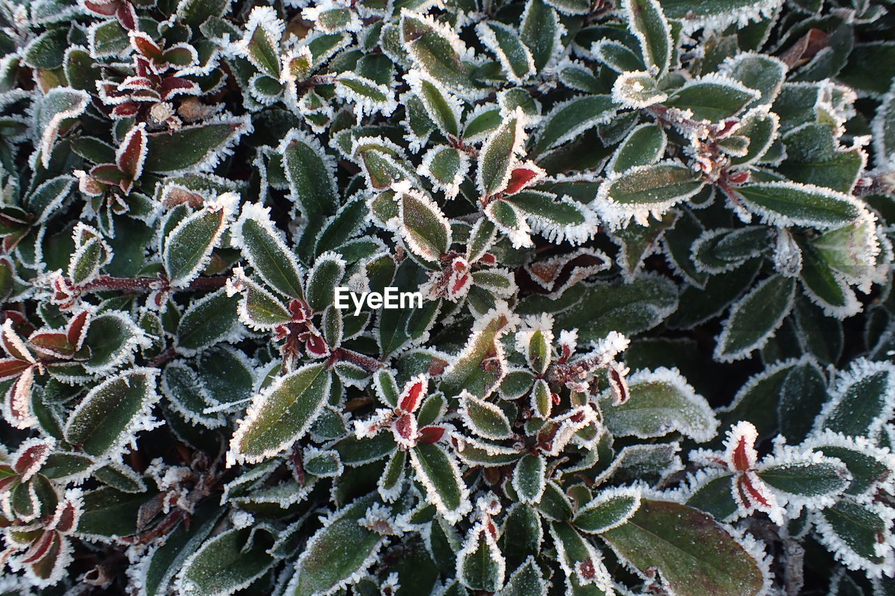 green color, plant, leaf, nature, growth, no people, day, close-up, winter, cold temperature, outdoors, full frame, beauty in nature, backgrounds, snow, fragility, freshness