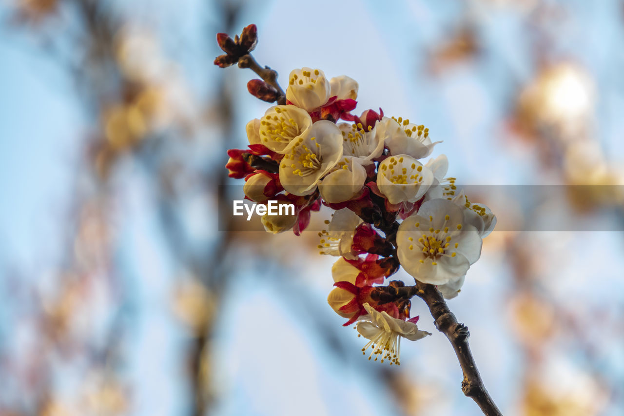plant, flower, flowering plant, tree, growth, beauty in nature, fragility, vulnerability, freshness, close-up, branch, focus on foreground, blossom, springtime, day, nature, no people, petal, selective focus, inflorescence, flower head, pollen, plum blossom, outdoors, cherry blossom, cherry tree, spring