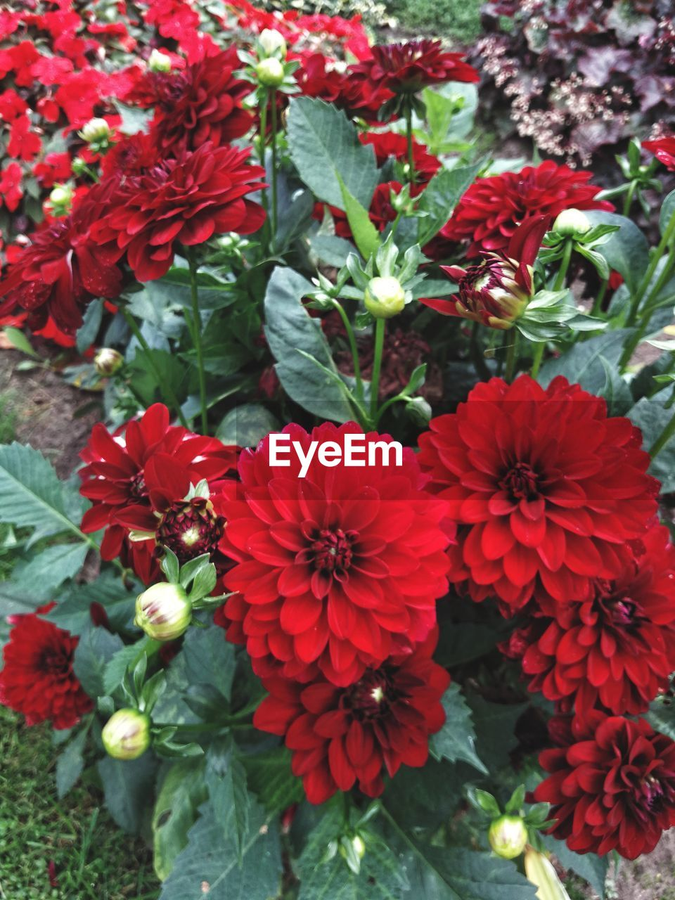 HIGH ANGLE VIEW OF RED FLOWERS ON PLANT