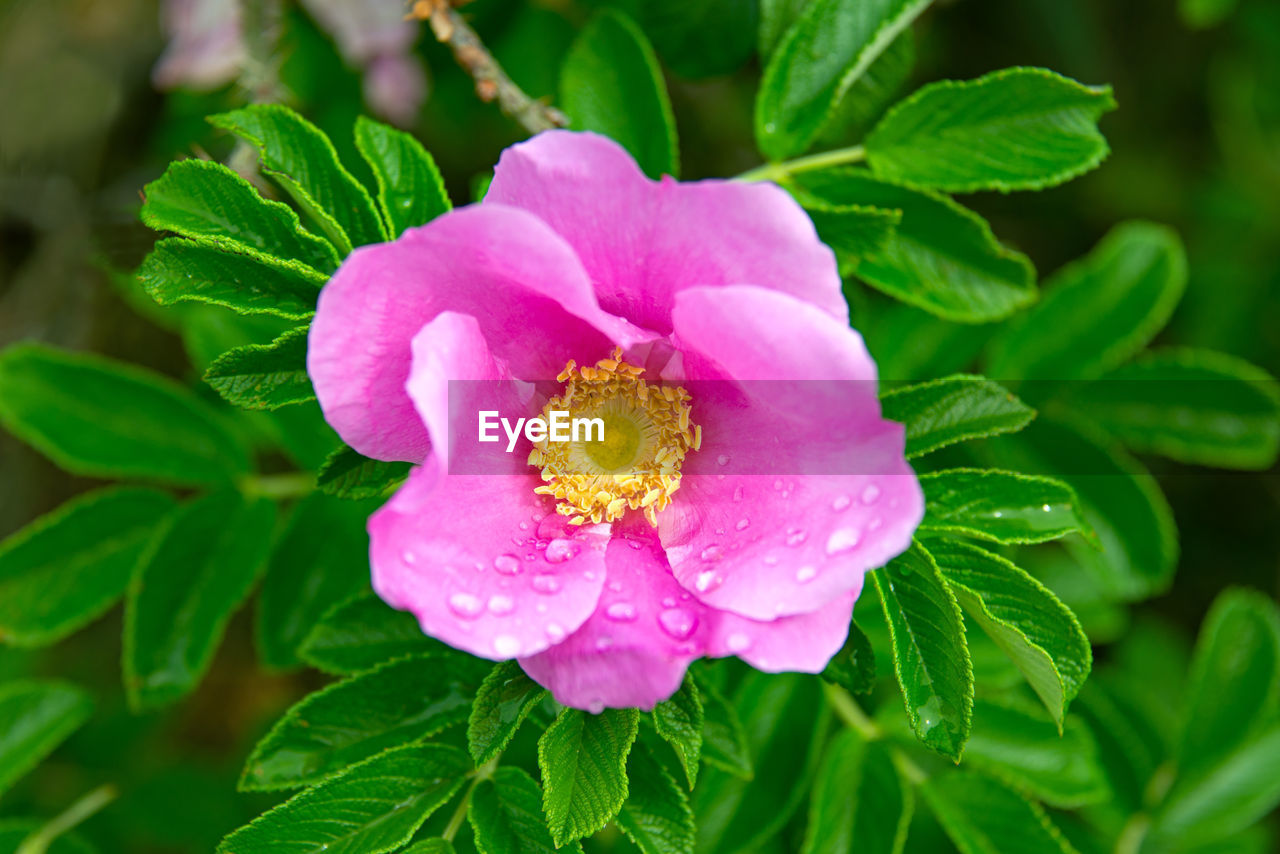flowering plant, beauty in nature, flower, plant, growth, freshness, petal, flower head, inflorescence, fragility, plant part, leaf, close-up, vulnerability, pink color, nature, no people, water, pollen, dew