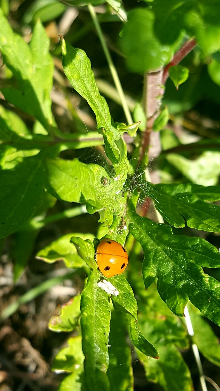 insect, green color, animal themes, leaf, one animal, animals in the wild, ladybug, plant, nature, close-up, no people, outdoors, day, animal wildlife, tiny
