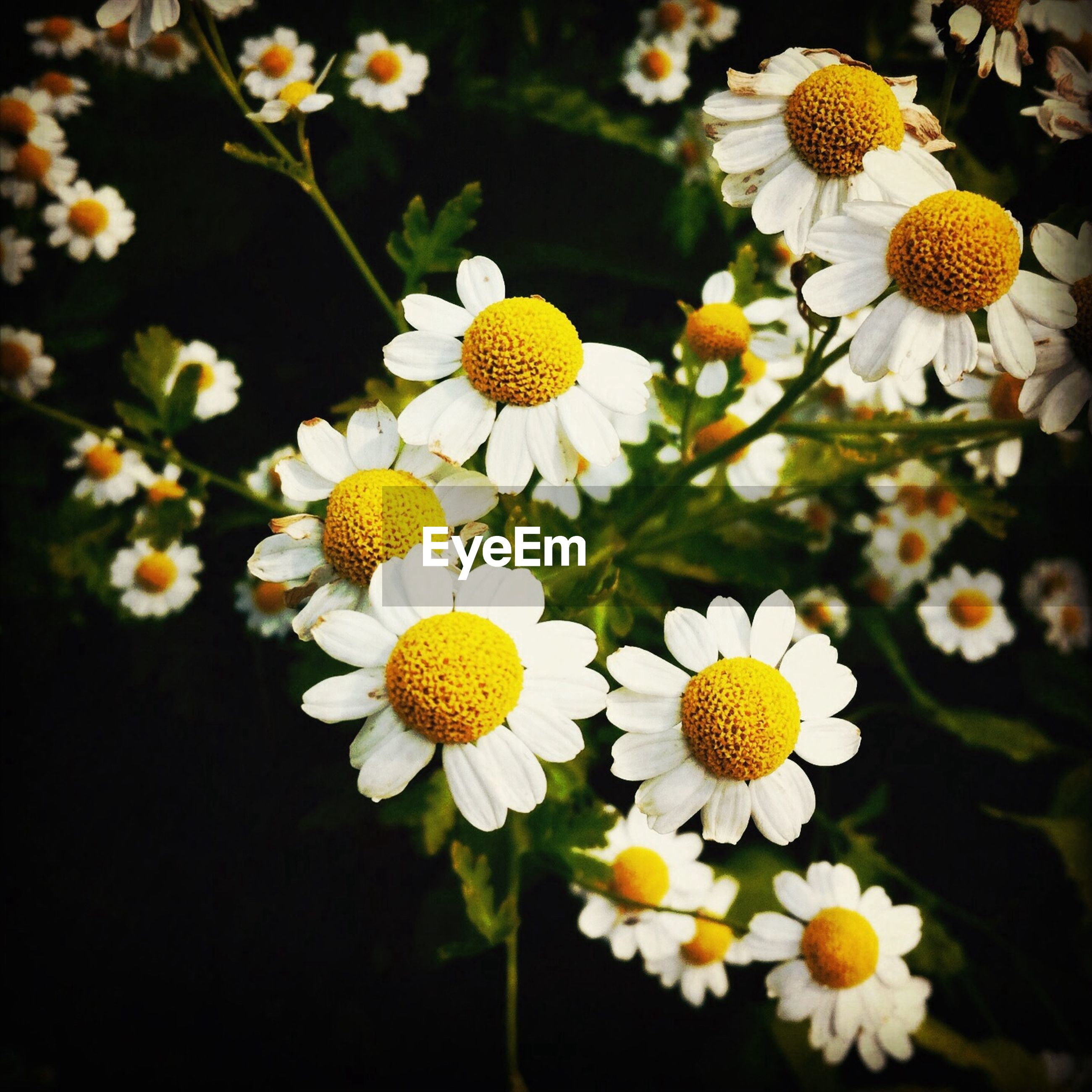 flower, freshness, petal, fragility, flower head, daisy, beauty in nature, growth, yellow, white color, nature, blooming, pollen, close-up, plant, in bloom, blossom, high angle view, focus on foreground, botany