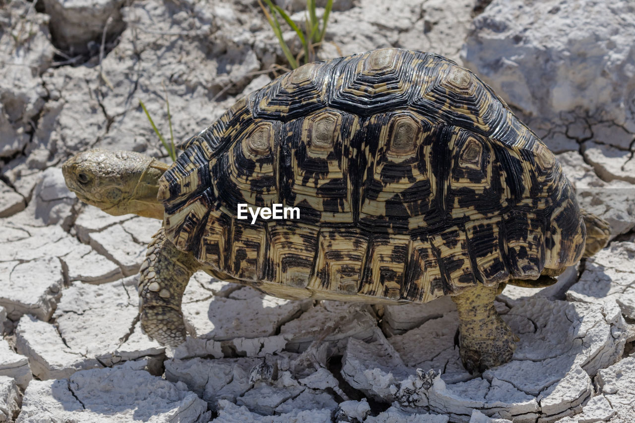 reptile, turtle, animal themes, animal, animal wildlife, tortoise, one animal, animals in the wild, shell, animal shell, vertebrate, tortoise shell, nature, solid, rock, rock - object, day, no people, close-up, outdoors, marine