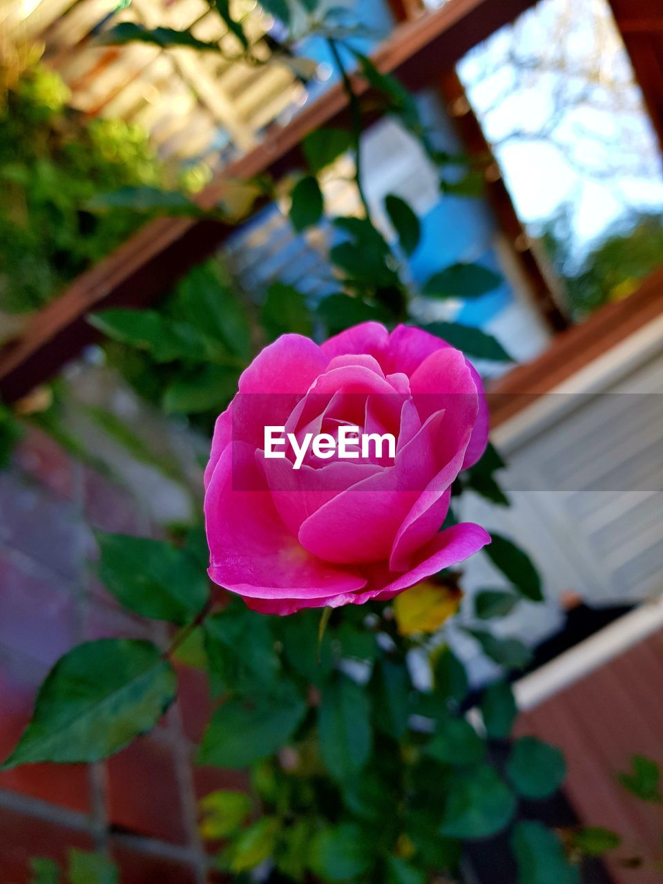 flower, petal, fragility, beauty in nature, nature, leaf, rose - flower, flower head, close-up, pink color, no people, freshness, plant, growth, focus on foreground, day, outdoors, blooming