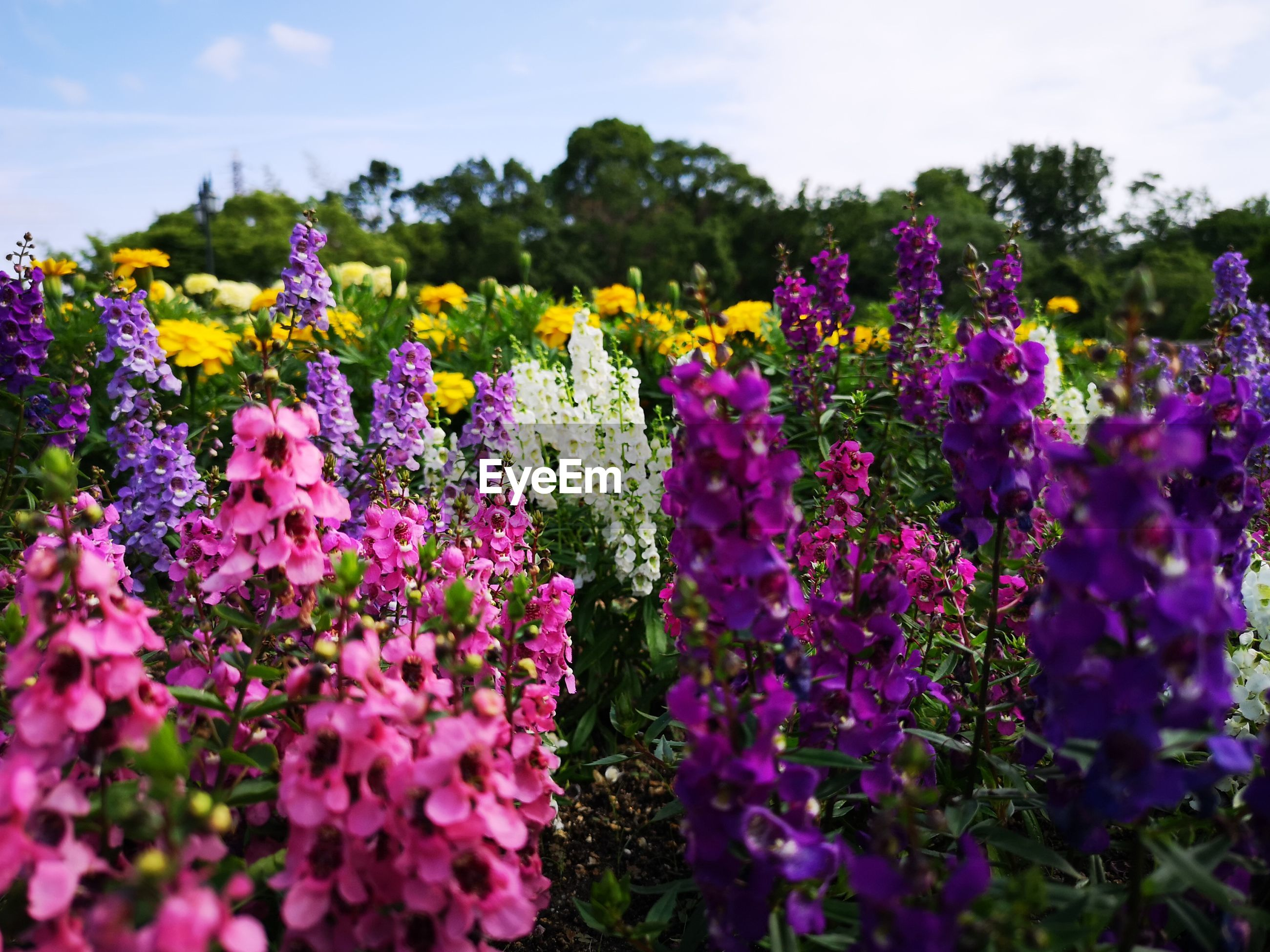 Close-up of fresh purple flowers in field against sky