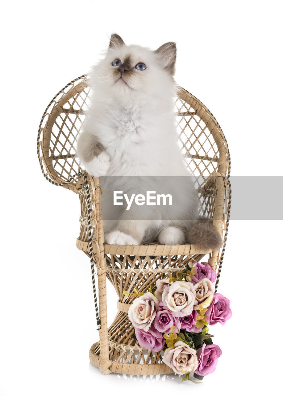 white background, one animal, studio shot, basket, pets, animal, flower, animal themes, domestic, flowering plant, domestic animals, vertebrate, container, indoors, mammal, domestic cat, cut out, no people, cat, feline, whisker