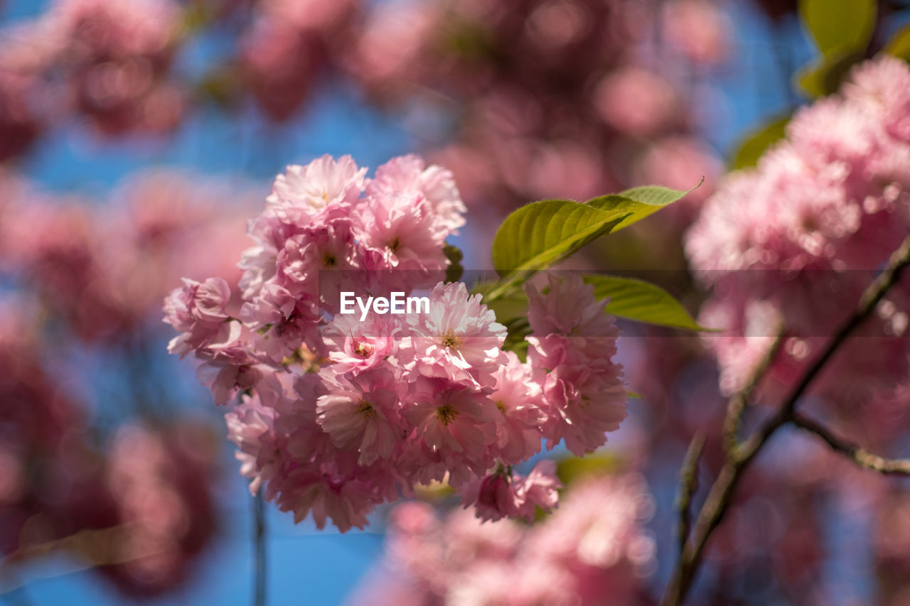 flowering plant, flower, fragility, vulnerability, plant, pink color, beauty in nature, freshness, close-up, growth, petal, day, inflorescence, selective focus, flower head, nature, focus on foreground, no people, blossom, botany, outdoors, springtime, cherry blossom, spring, cherry tree, bunch of flowers, lilac