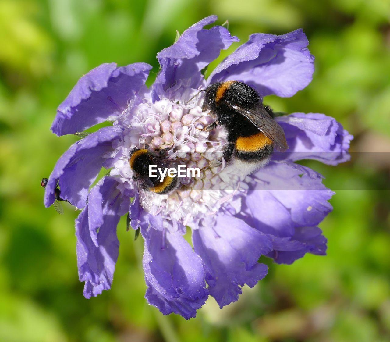 Bumblebees On Purple Flower