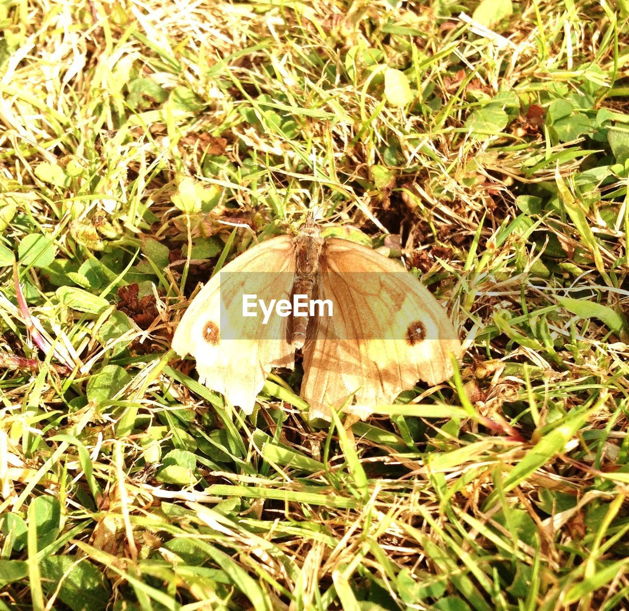 wildlife, insect, one animal, nature, animal themes, high angle view, grass, butterfly, no people, animals in the wild, outdoors, day, close-up, fragility