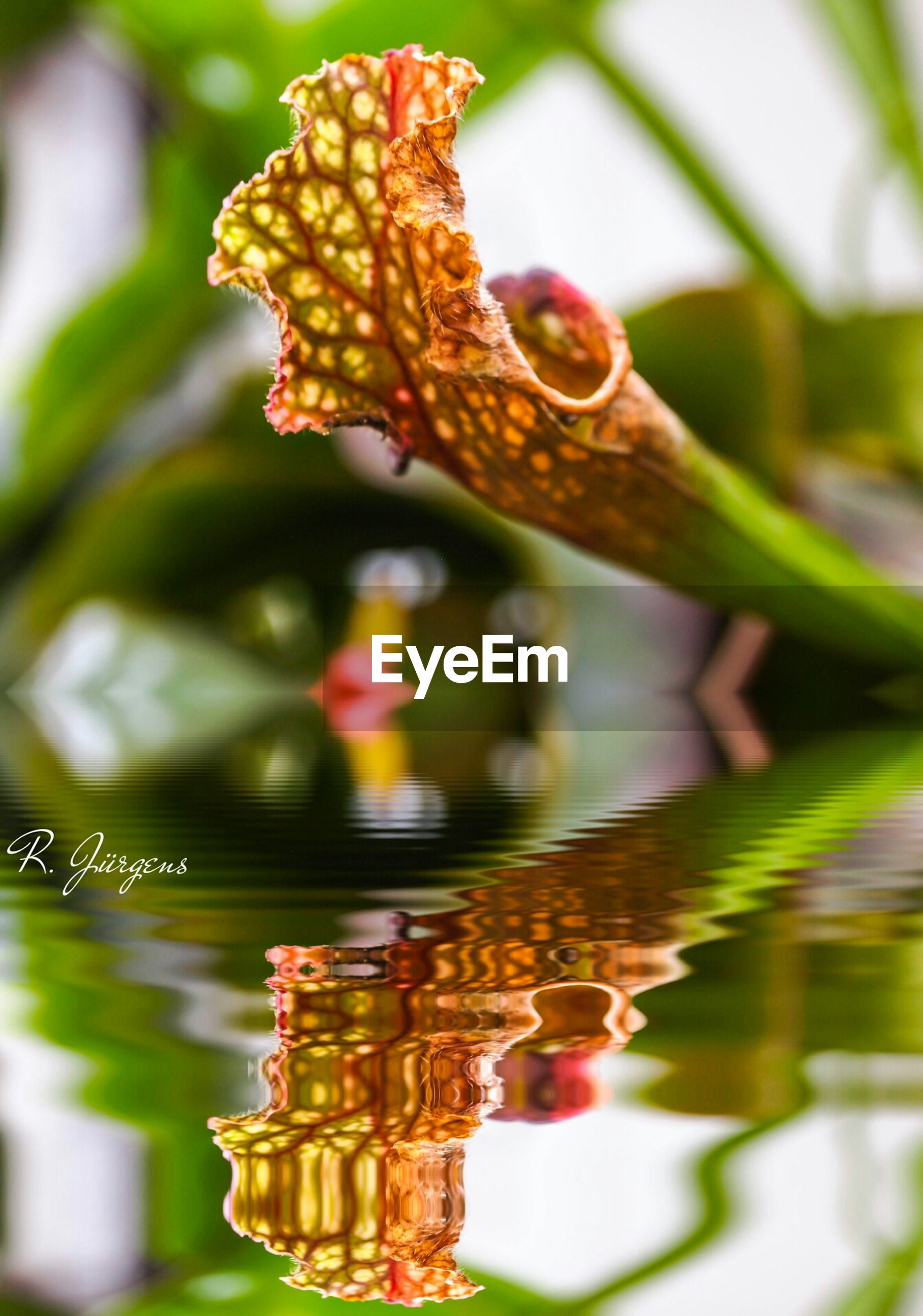 focus on foreground, close-up, selective focus, flower, water, nature, day, outdoors, no people, beauty in nature, plant, freshness, multi colored, hanging, tradition, reflection, growth, decoration, red, cultures