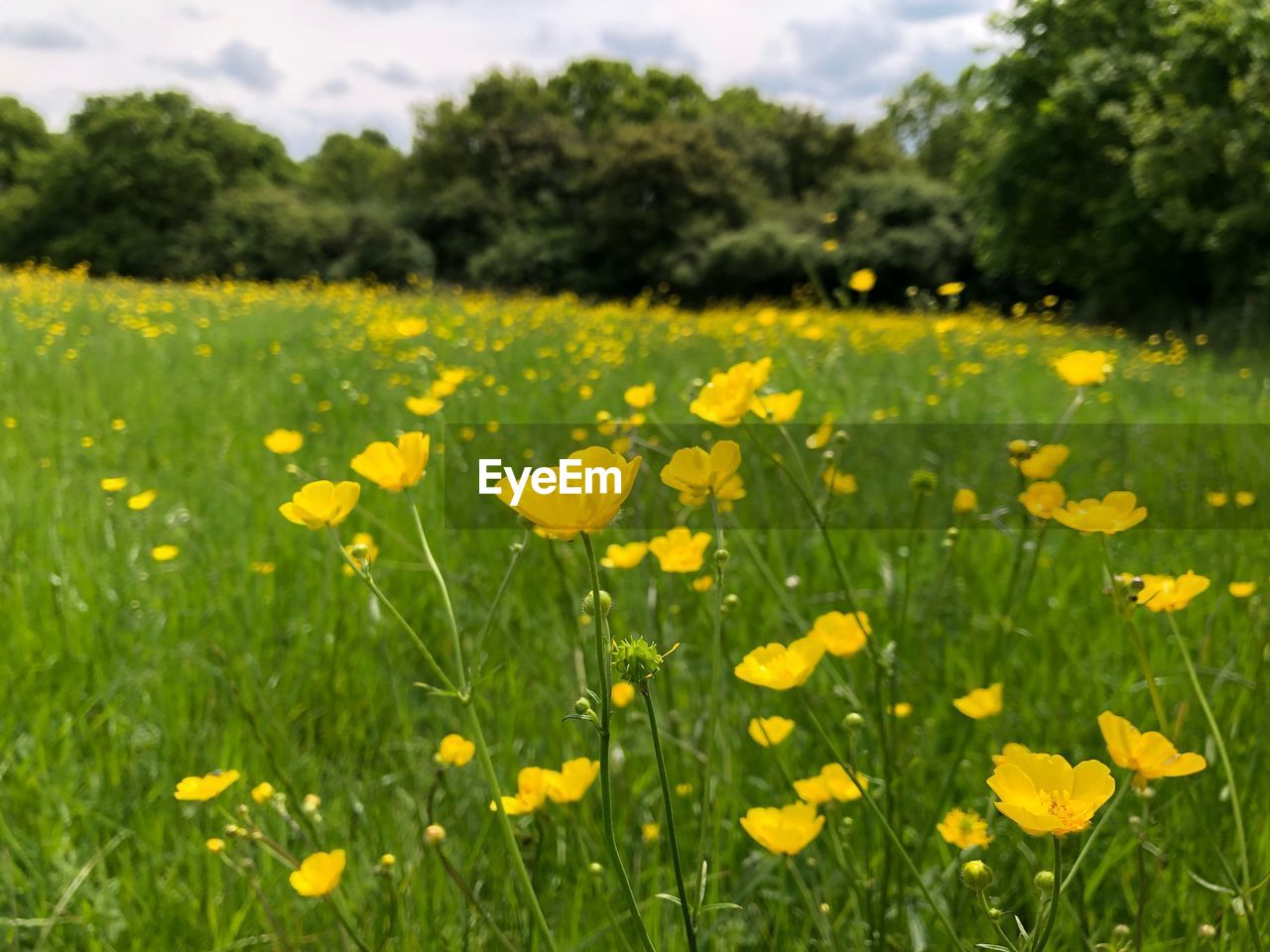 VIEW OF YELLOW FLOWERS GROWING IN FIELD