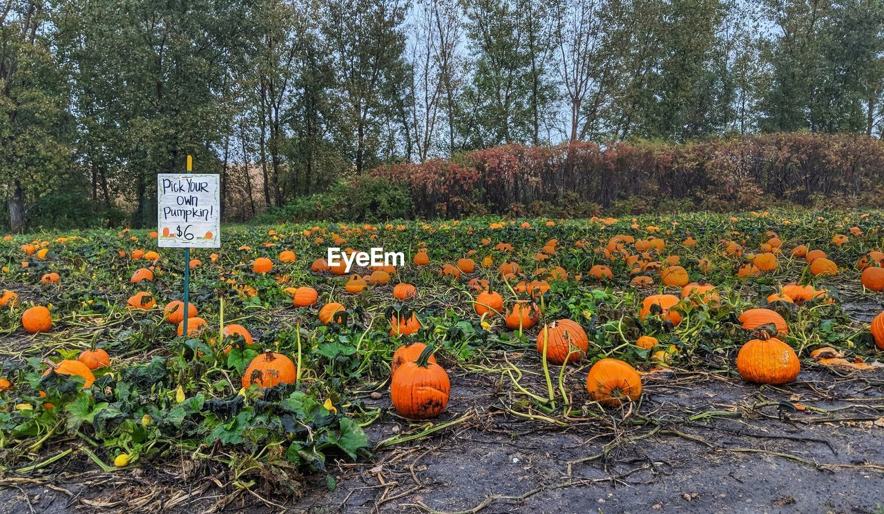 plant, tree, food, orange color, pumpkin, land, field, freshness, nature, food and drink, no people, growth, day, text, healthy eating, autumn, landscape, outdoors, communication, beauty in nature, orange