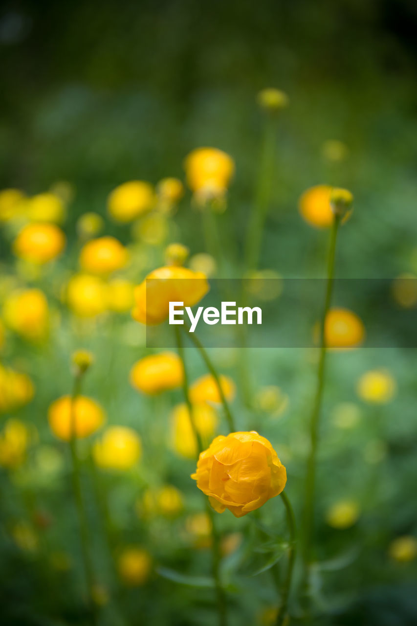flowering plant, flower, yellow, plant, freshness, fragility, vulnerability, beauty in nature, growth, close-up, field, nature, land, petal, no people, plant stem, selective focus, flower head, day, outdoors, springtime